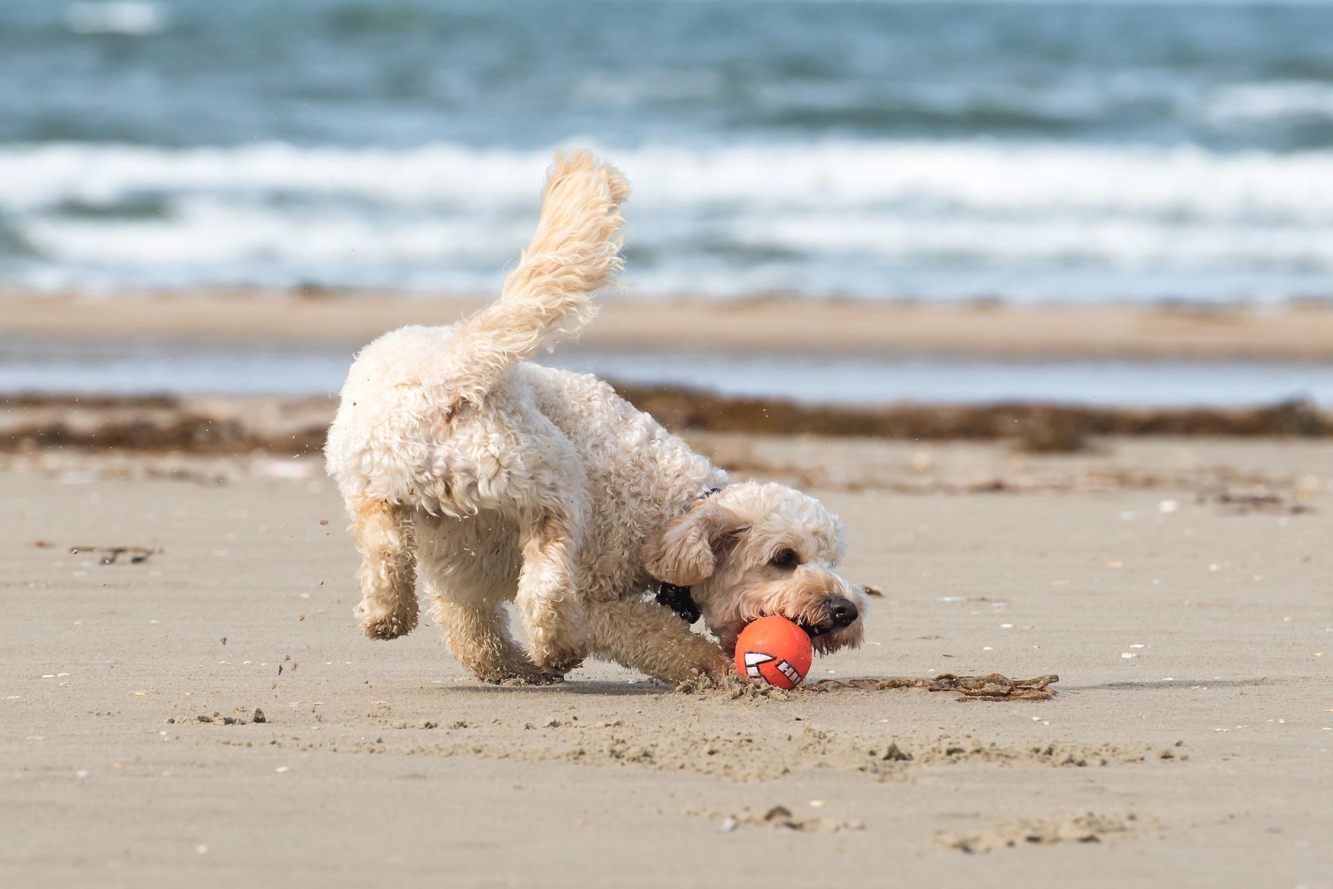 heller mittelgroßer wuscheliger Hund spielt mit Ball am Strand mit Wellen im Hintergrund